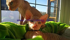 bloodline-champion-sphynx-kitten-5ca3b1ff390f9_grid.jpg