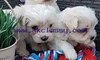 Beautiful White Maltese Puppies Available