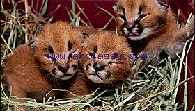 Caracal kitten,Africa serval kitten,Ocelot kitten