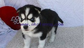 pure breed Siberian husky