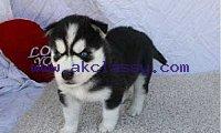 pure breed Siberian husky