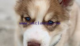 Siberian Husky free to good homes only
