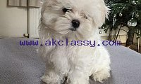 Teacup Maltese puppies For Sale - Snow White