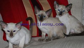 Siamese Kittens Ready for Sale