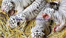 ad-ap-white-tiger3-070706-ssh-jpg-pbkm_grid.jpg
