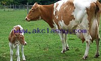 dairy goats, dairy sheep, Dairy cows, meat cows, meat sheepand meat goats