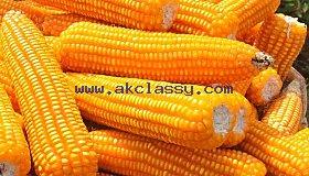 animal_fee_yellow_maize7_grid.jpeg