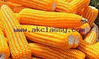Non GMO Yellow maize for sale