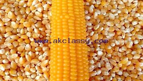 animal_fee_yellow_maize12_grid.jpg
