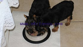Extra Chaming Teacup Yorkie Puppies For  Adoption