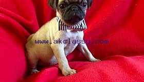 Pug puppies available now for rehoming