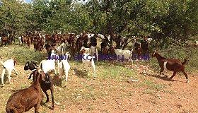 Kalahari_lambs1_grid.jpg