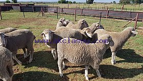 Merino_sheep2_grid.jpg