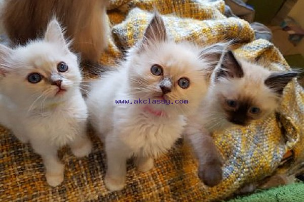 Ragdoll Kitten For Sale Akclassy Com