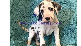 great-dane-puppy-picture-10947e40-4ad6-4dab-962e-80b4613ab446_grid.jpg