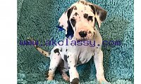 Two Great Danes puppies for sale. whatsapp me:+639232316532