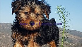 Purebred Tiny Yorkie Puppies for sale