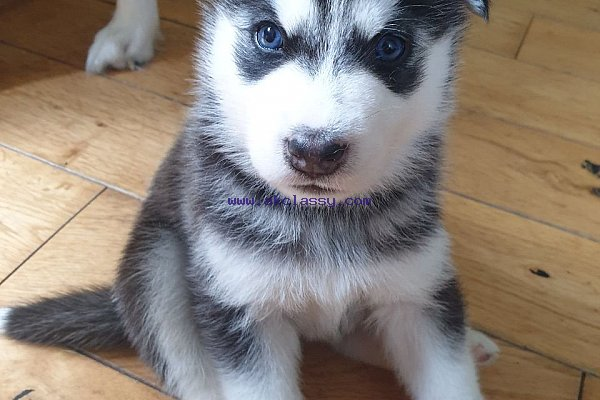 Beautiful Siberian Husky Puppies Akclassy Com