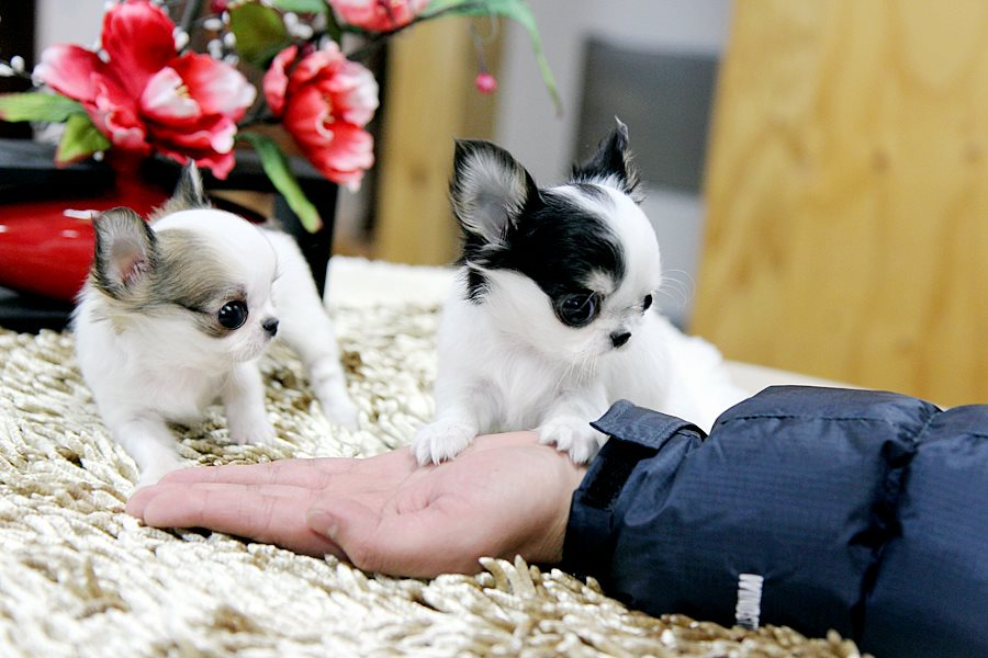 Eye-catching Tiny Chihuahua puppies - KC Reg