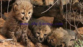 lovely Tigers,Cheetah Cubs For Sale