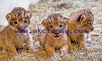Adorable Cheetah Cubs|Lion Cubs|Tiger Cubs For Sale whatsapp : +12486625079