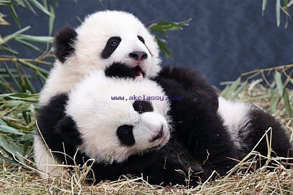 Adorable Cheetah Cubs|Lion Cubs|Tiger Cubs For Sale whatsapp