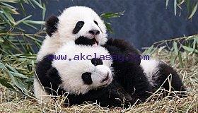 panda-cubs_grid.jpg