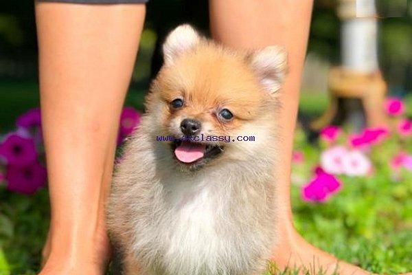 Gorgeours Pomeranians puppies for sale and adoption Pomeranians