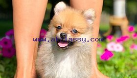 Gorgeours Pomeranians puppies for sale and adoption Pomeranians