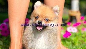 Pomeranian_puppy_16_grid.jpg