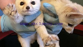Male and female fennec fox for sale