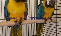 Hyacinth macaw, blue and gold macaw, scarlet macaws for sale