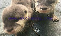 Lovely male and female Otters available