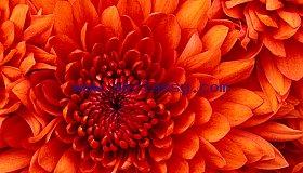 Chrysanthemum_grid.jpg