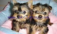 Cute Pure Breed yorkie puppies