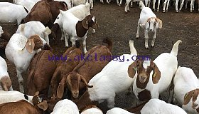 Livestock Full Blood Boer Goats for Sale 2019/Whatsapp: +27621354579