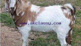 Live Boer Goats for sale/Whatsapp: +27621354579