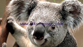 Koala-min_grid.jpg