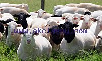 Dorper sheeps For sale / Best Prices /Whatsapp: +27621354579