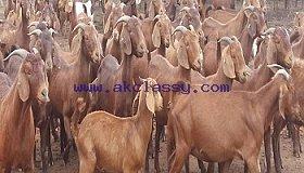 Wholesale live diary Boer Goats/ Sheep /lamb for sale /Whatsapp: +27621354579