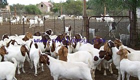 Live Boer Goats, Live Sheep, Cattle, Lambs./Whatsapp: +27621354579