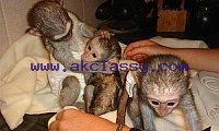 Lovely Capuchin Monkeys available for Sale