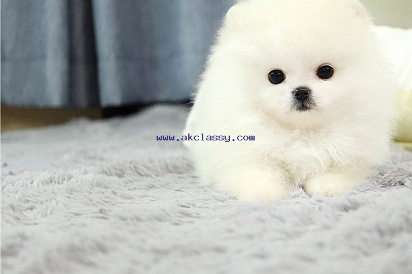 Adorable Male And Female Tea Cup Pomeranian Puppies Akclassy Com