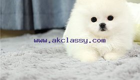 Adorable Male And Female Tea cup Pomeranian Puppies