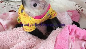 Cute Capuchin Monkeys available for Sale