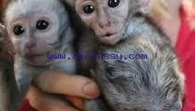 Lovely male and female Capuchin Monkeys available Sale