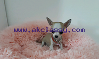 Adorable chihuahua mini toy puppies well trained and vaccinated looking for new homes. Do not hesitate to contact us if interested.
