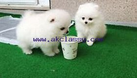 Adorable Pomerania mini toy puppies ....