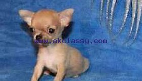 Adorable chihuahua mini toy puppies well trained and vaccinated