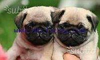 Adorable carlino  puppies